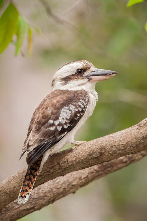 Laughing kookaburra. Perched adult. Hervey Bay, Queensland, Australia, September 2010. Image © Tony Whitehead by Tony Whitehead Tony Whiteheadwww.wildlight.co.nz