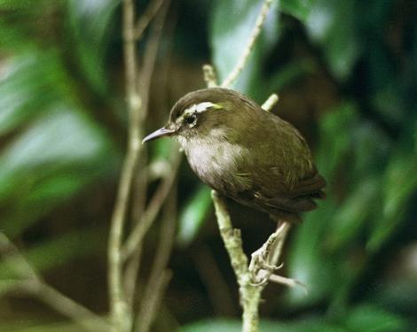 Bush wren. Bird that died in captivity during attempted rescue operation. Big South Cape Island, Stewart Island, September 1964. Image © Department of Conservation (image ref: 10037276) by Don Merton, Department of Conservation Courtesy of Department of Conservation