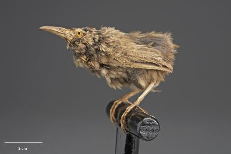Lyall's wren. Mounted specimen. Acquisition history unknown. Specimen registration no. OR.005098; image no. MA_I156493. Stephens Island (Takapourewa). Image © Te Papa See Te Papa website: http://collections.tepapa.govt.nz/objectdetails.aspx?irn=532009&term=OR.005098