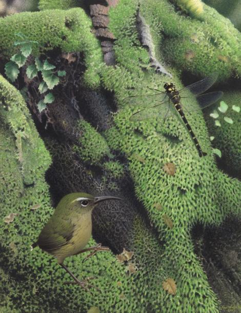 Long-billed wren. Image 2006-0010-1/1 from the series 'Extinct birds of New Zealand'. Masterton. Image © Te Papa by Paul Martinson See Te Papa website: http://collections.tepapa.govt.nz/objectdetails.aspx?irn=710962&term=long-billed+wren