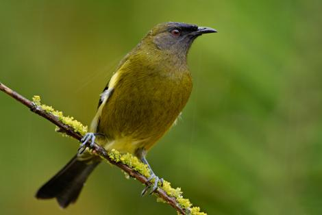Bellbird. Adult male. Dunedin, July 2009. Image © Craig McKenzie by Craig McKenzie