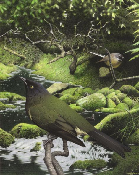 Chatham Island bellbird. Image 2006-0010-1/8 from the series 'Extinct birds of New Zealand'. Masterton. Image © Purchased 2006. © Te Papa by Paul Martinson See Te Papa website: http://collections.tepapa.govt.nz/objectdetails.aspx?irn=711022&term=island+bellbird