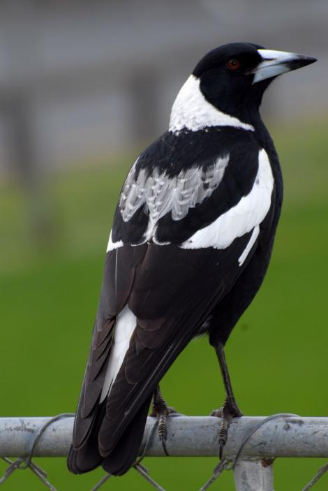 Australian magpie. Mixed race female. North Shore, Auckland, September 2007. Image © Peter Reese by Peter Reese
