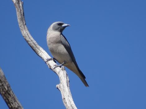 Masked woodswallow. Adult female. Yankee Hat, ACT, Australia, November 2018. Image © R.M. by R.M.