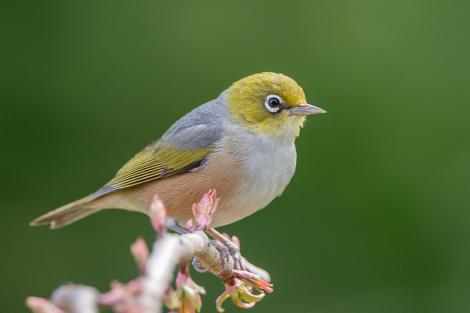 Silvereye. Adult. Rotorua, September 2012. Image © Tony Whitehead by Tony Whitehead Tony Whiteheadwww.wildlight.co.nz