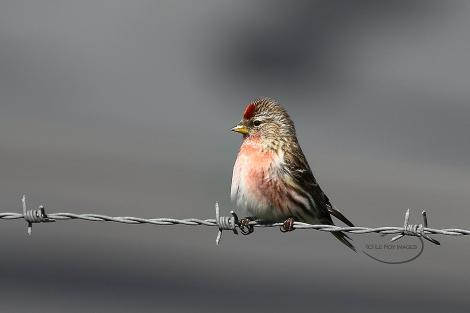 Common redpoll. Adult male. Wellington airport, September 2018. Image © Paul Le Roy by Paul Le Roy