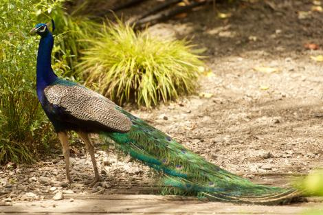 Peafowl. Adult male in breeding plumage. Dome Valley, December 2014. Image © Les Feasey by Les Feasey