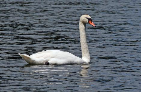 Mute swan. Adult female (pen) on lake. Virginia Lake, Wanganui, November 2008. Image © Duncan Watson by Duncan Watson