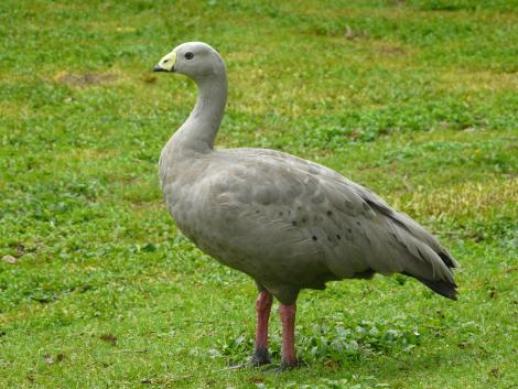 Cape Barren goose. Adult. Hamilton Zoo, October 2011. Image © Alan Tennyson by Alan Tennyson