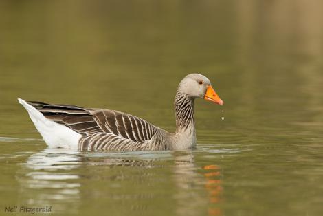 Greylag goose. Adult. England, United Kingdom. Image © Neil Fitzgerald by Neil Fitzgerald www.neilfitzgeraldphoto.co.nz