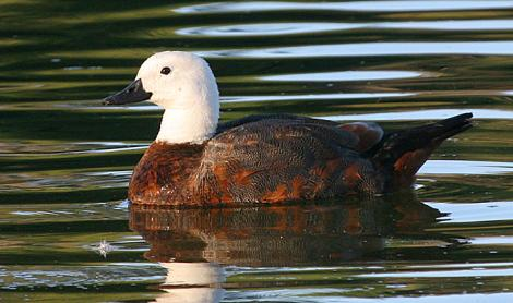 Paradise shelduck. Adult female. Wanganui, January 2008. Image © Ormond Torr by Ormond Torr