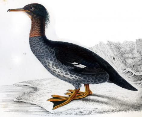 Auckland Island merganser. Image from Hombron, J.B. & Jacquinot, H. Voyage au Pôle Sud. Zoologie. Vol. 3,. Paris, France. Image © No known copyright restrictions