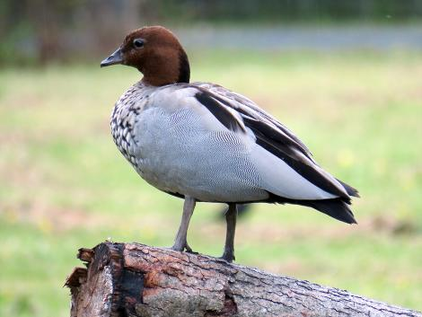 Australian wood duck. Adult male on log. Playhouse Ponds, November 2019. Image © Scott Brooks (ourspot) by Scott Brooks