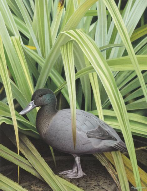 Chatham Island duck. Chatham Island duck (Pachyanas chathamica). Image 2006-0010-1/34 from the series 'Extinct birds of New Zealand'. Masterton. Image © Purchased 2006. © Te Papa by Paul Martinson See Te Papa website: http://collections.tepapa.govt.nz/objectdetails.aspx?irn=710936&term=chatham+island+duck