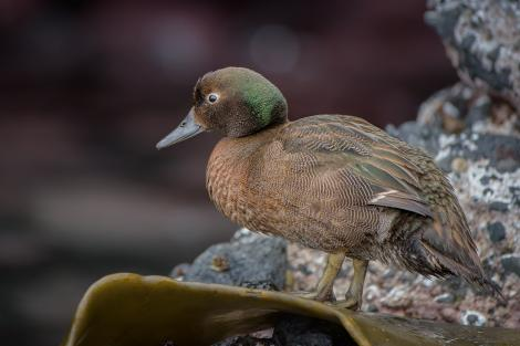 Auckland Island teal. Adult male. Enderby Island, Auckland Islands, January 2016. Image © Tony Whitehead by Tony Whitehead www.wildlight.co.nz