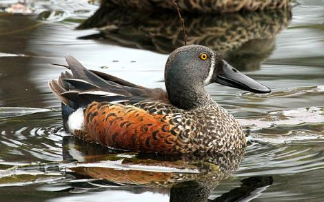 Australasian shoveler. Adult male in breeding plumage. Wanganui, August 2010. Image © Ormond Torr by Ormond Torr