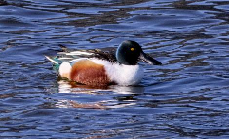 Northern shoveler. Adult male in breeding plumage. Nelson sewage ponds, July 2018. Image © Rebecca Bowater FPSNZ AFIAP by Rebecca Bowater www.floraandfauna.co.nz