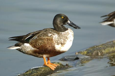 Northern shoveler. Adult male in breeding plumage. Texas, December 2006. Image © Jim Denny by Jim Denny http://www.kauaibirds.comhttp://www.flickr.com/photos/hawaiibirds/