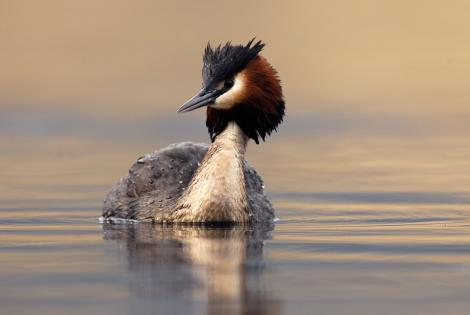 Australasian crested grebe. Adult. Lake Dunstan, Central Otago, January 2010. Image © Craig McKenzie by Craig McKenzie