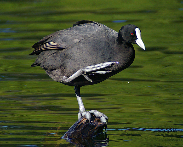 American Coot Identification All About Birds Cornell Lab