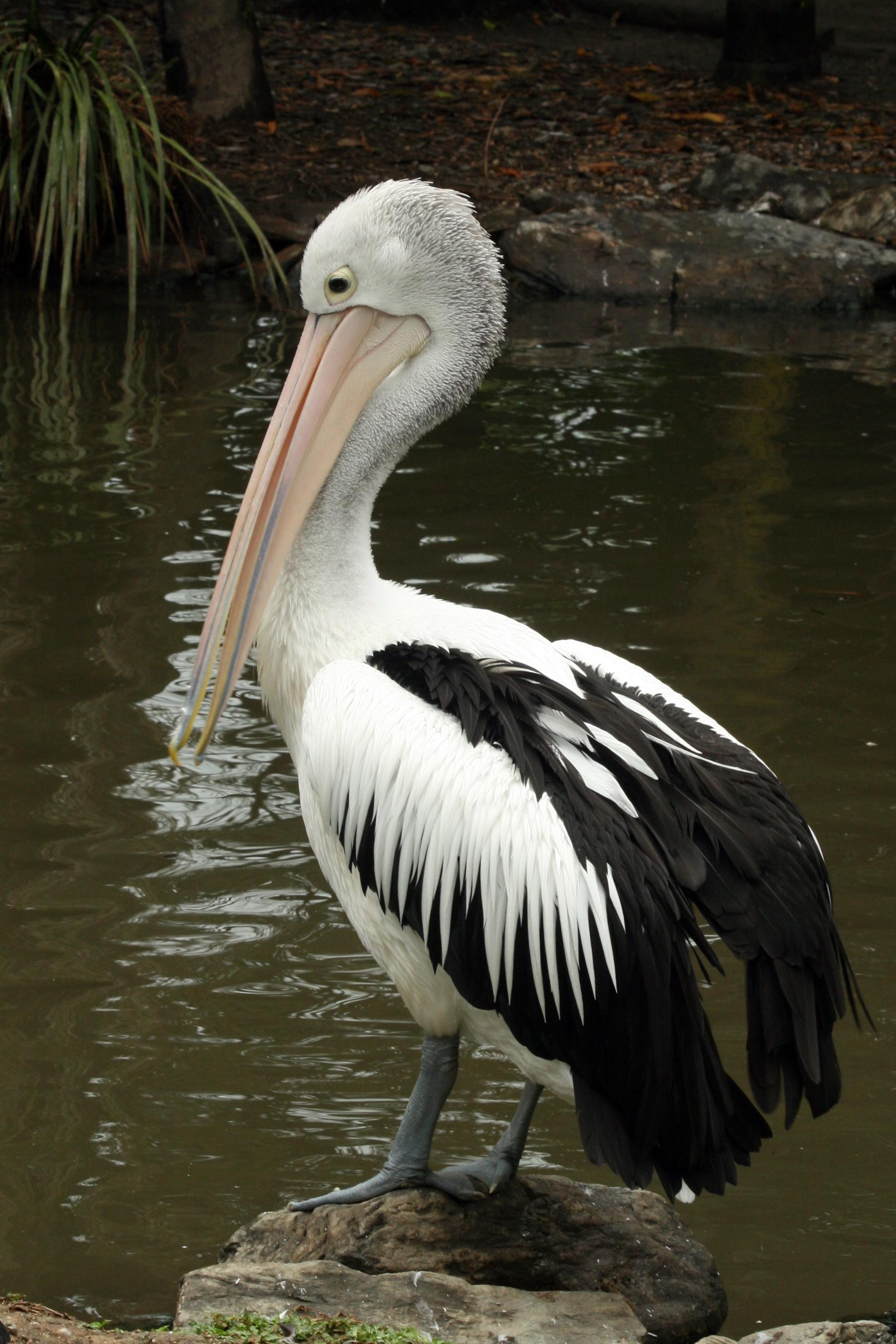 Australian Pelican New Zealand Birds Online