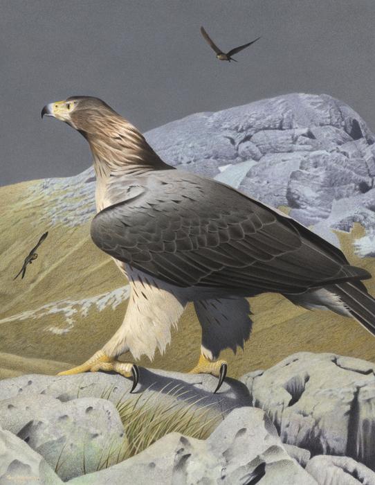 Haast's eagle | New Zealand Birds Online