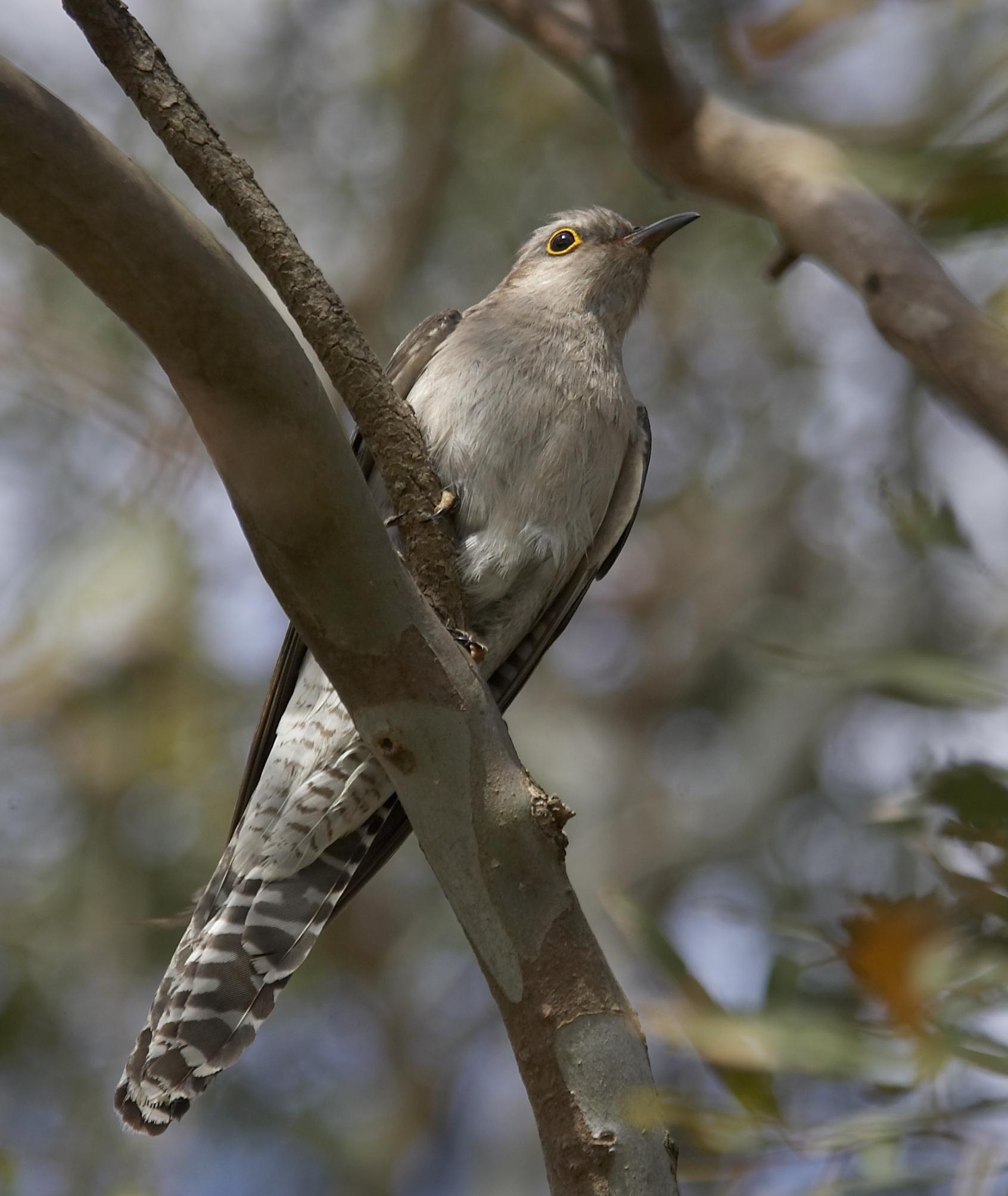 Pallid cuckoo. adult. gippsland, victoria, australia, october 2007