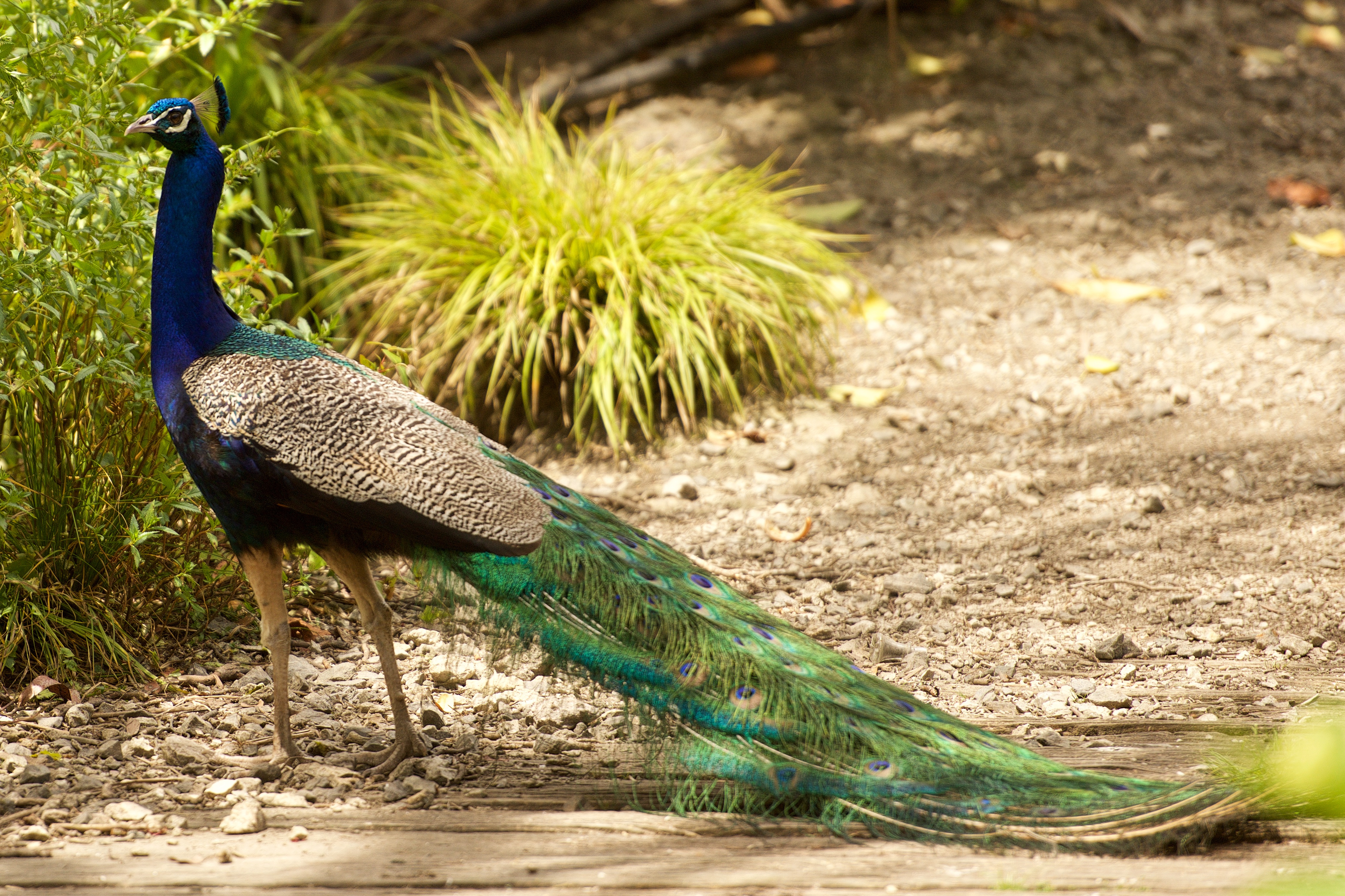 information about peacock bird You'll have a brief but complete information about where do peacocks live, peacocks habitat, facts about peacocks and different types of peacocks.