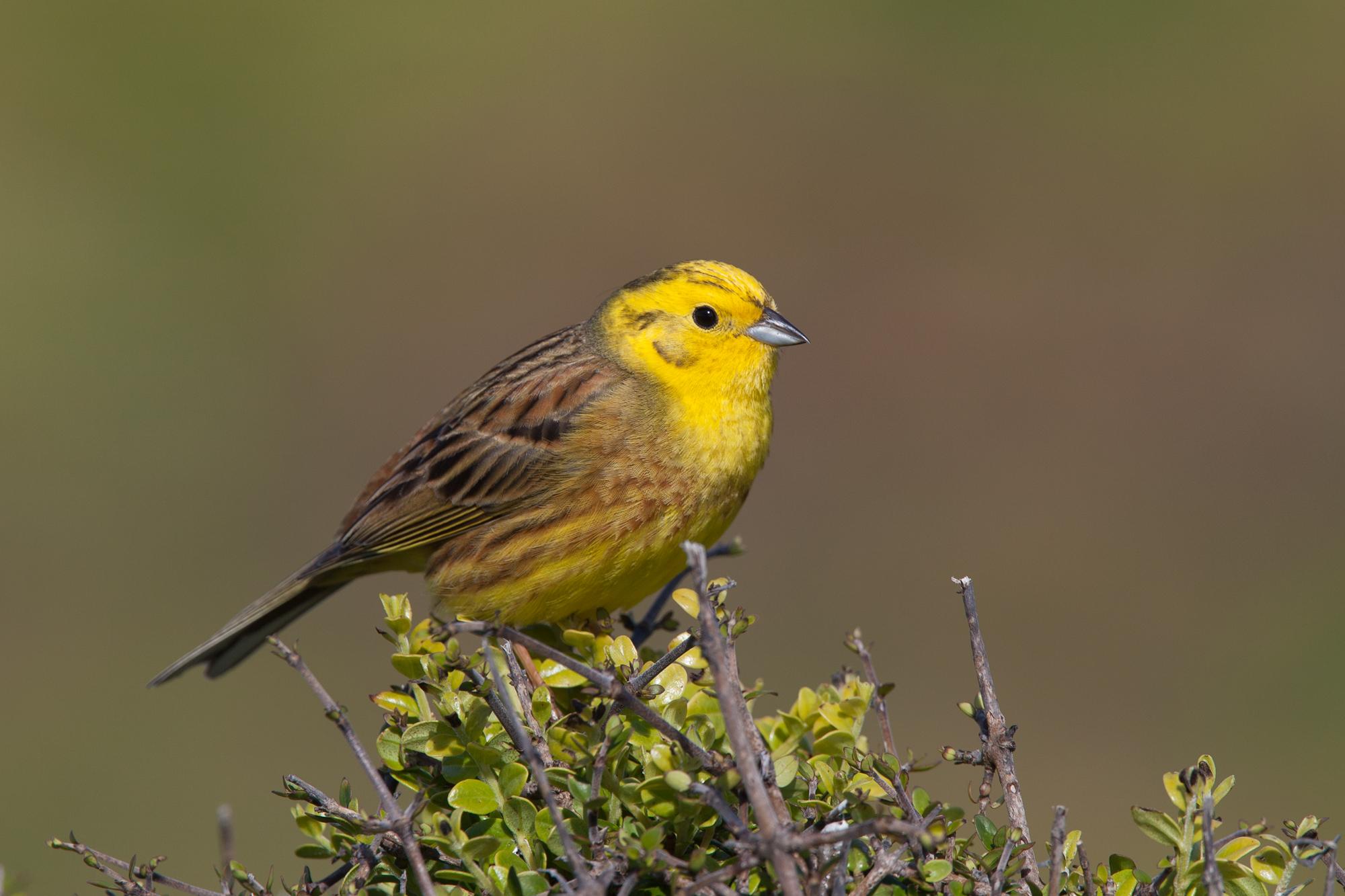 Little Yellow Bird >> Yellowhammer New Zealand Birds Online