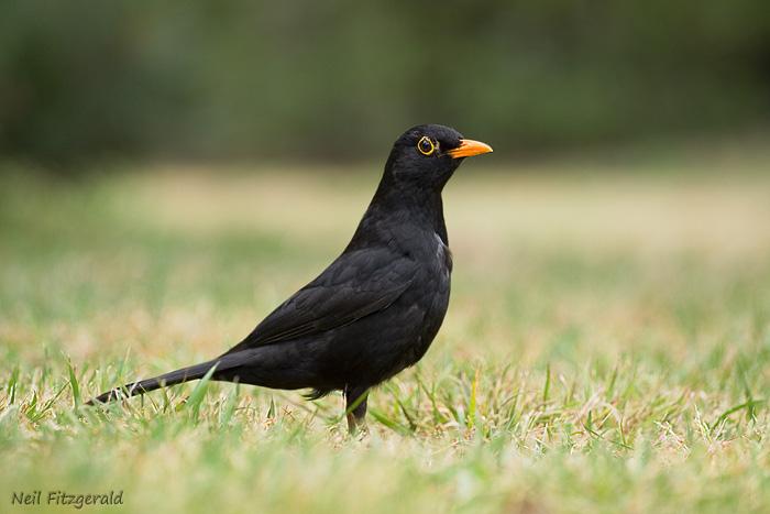 Eurasian blackbird | New Zealand Birds Online