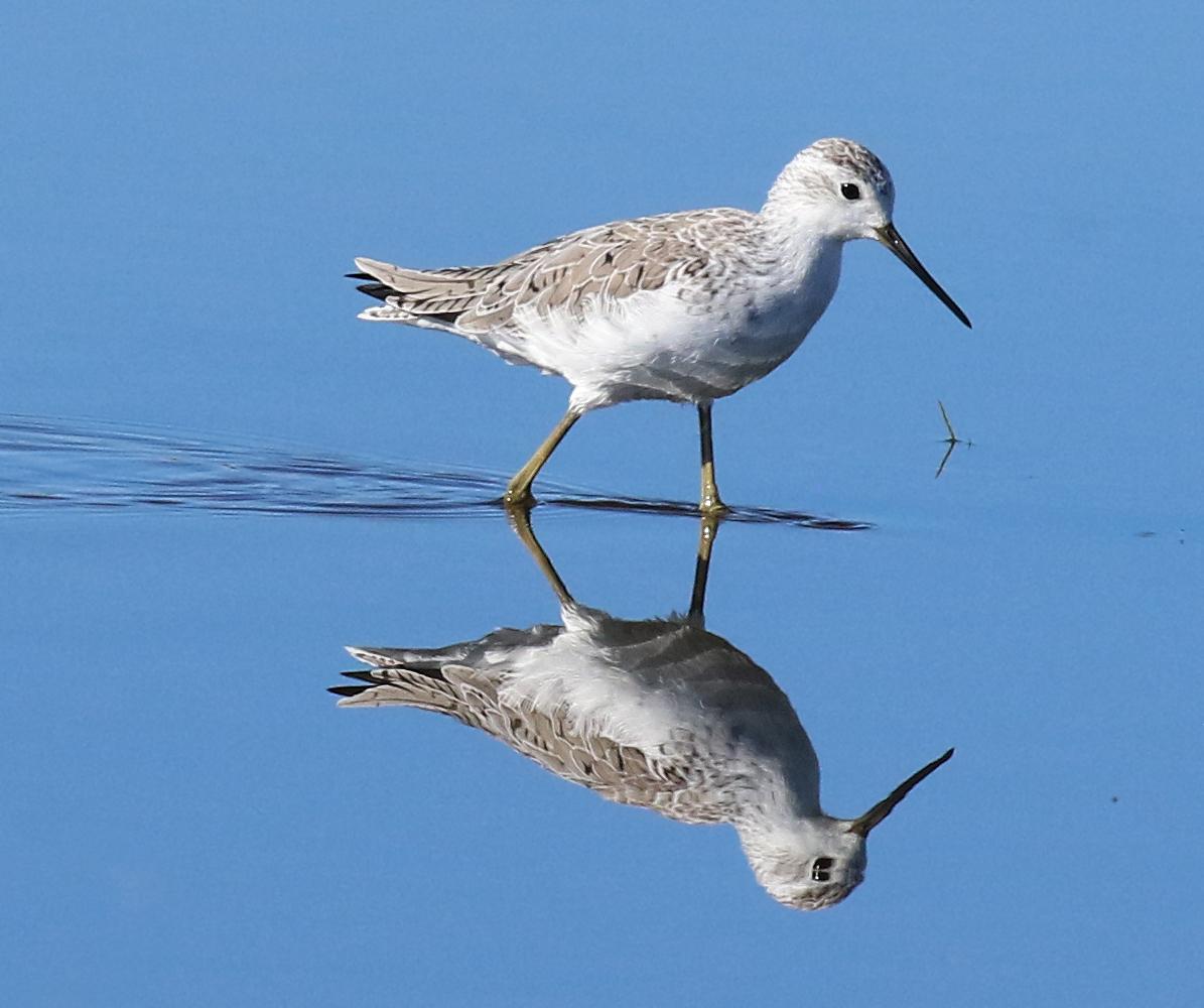 Marsh sandpiper new zealand birds online sciox Choice Image